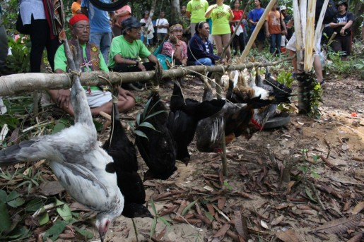 Chicken livestock used as part of ritual offering